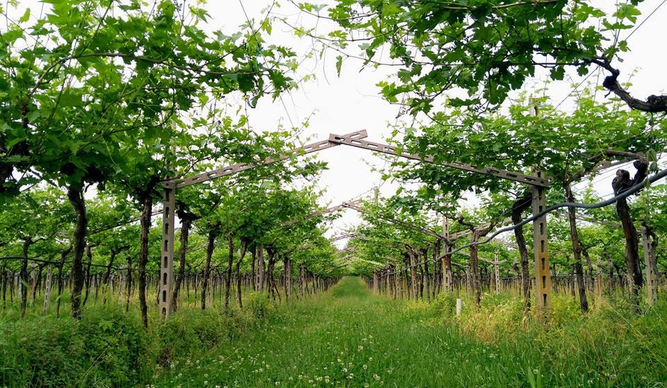 Losing ourselves in Garda lake vineyards