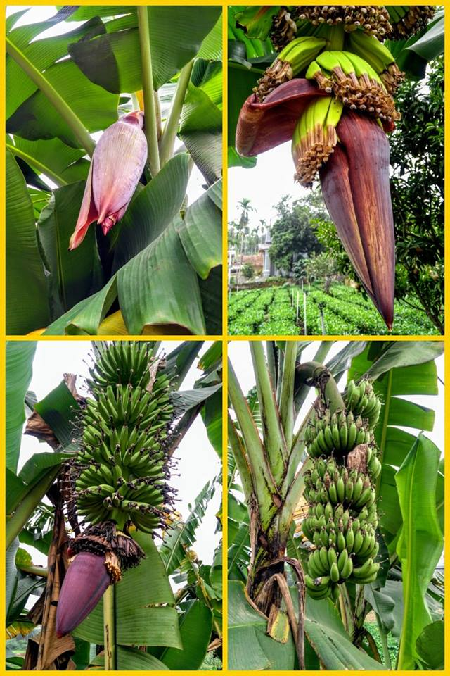 The steps of Banana tree efflorescence